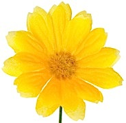 flor amarilla frontal